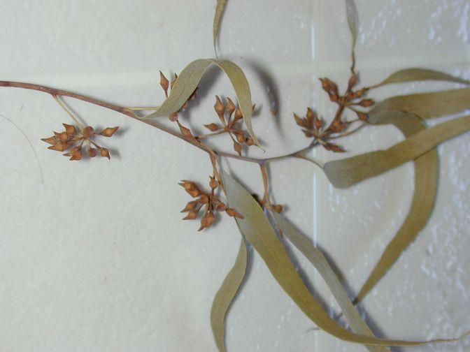 Cómo evitar ronquidos con eucalipto